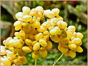 Calceolaria integrifolia 'Sunshine'