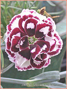 Dianthus 'Laced Hero'