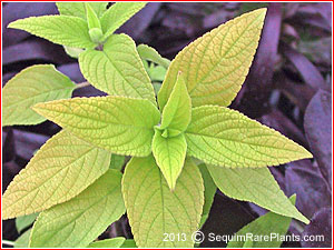 Salvia 'Golden Delicious'
