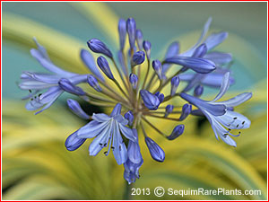 Agapanthus 'Summer Gold'