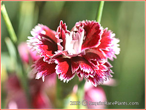 Dianthus 'Sweetheart Abbey'