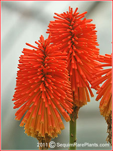 Kniphofia 'Christmas Cheer'