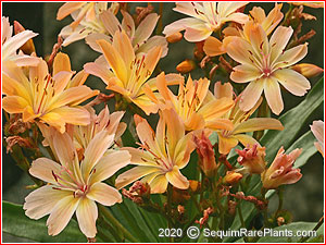 Lewisia 'Little Peach'