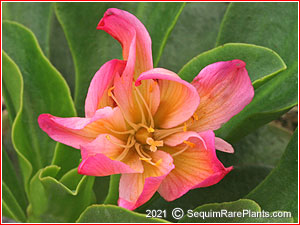 Lewisia tweedyi red