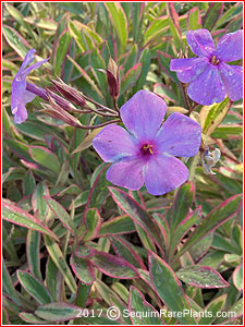 Phlox glaberrima 'Triple Play'