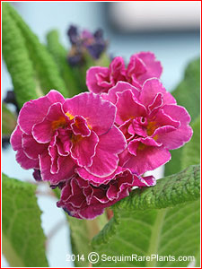 Primula 'Mark Viette'