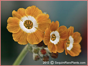 Sycamore Trading PRIMULA auricula x 5 Young Plants