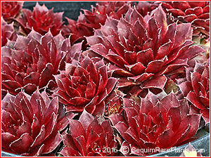 Sempervivum 'Rojin'