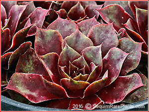 Sempervivum 'Rouge'