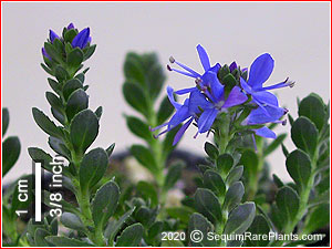 Veronica thessalica