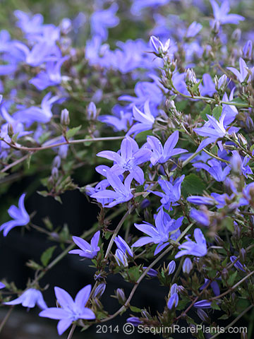 Campanula 'Blue Waterfall