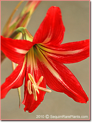 bright scarlet flowers of Hippeastrum johnsonii