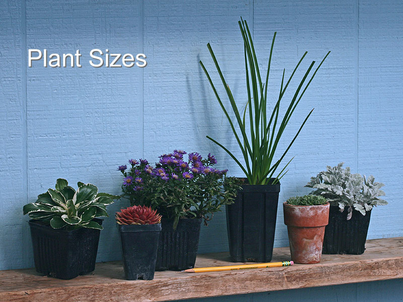 Our plants are grown in the sizes of pots illustrated in this picture, although a few of the plants we offer are sold as husky, bare-root divisions. The pot that is 5½ inches tall is used for the majority of plants we offer.